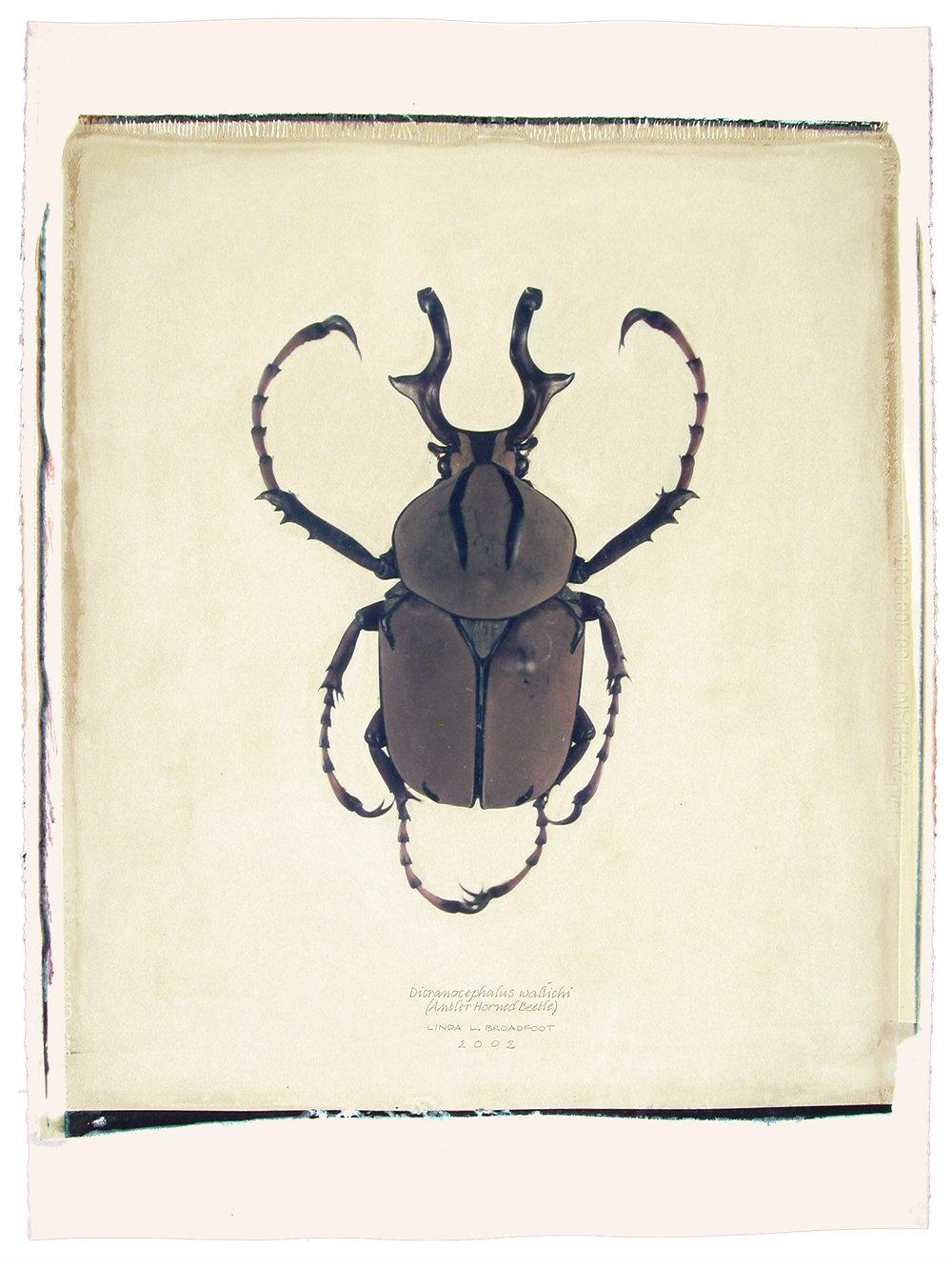 Dicranocephalus wallichi  (Antler Horned Beetle), 2002