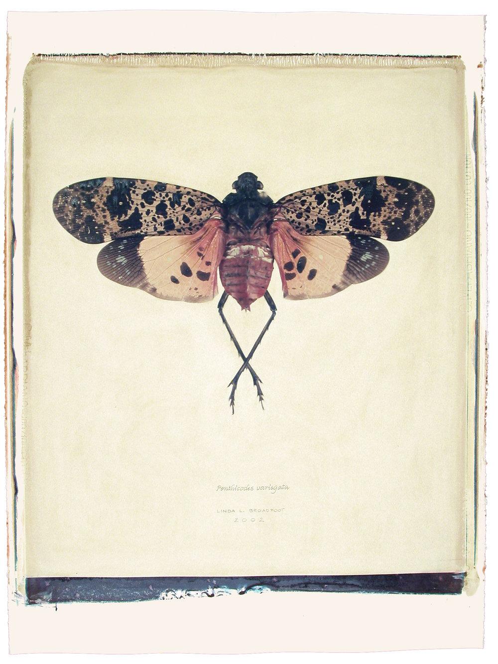 Penthicodes variegata  (Coat-of-Many-Colors Bug), 2002