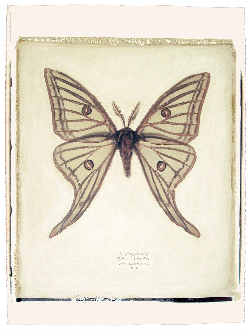 Graellsia isabellae  (Spanish Moon Moth), 2002