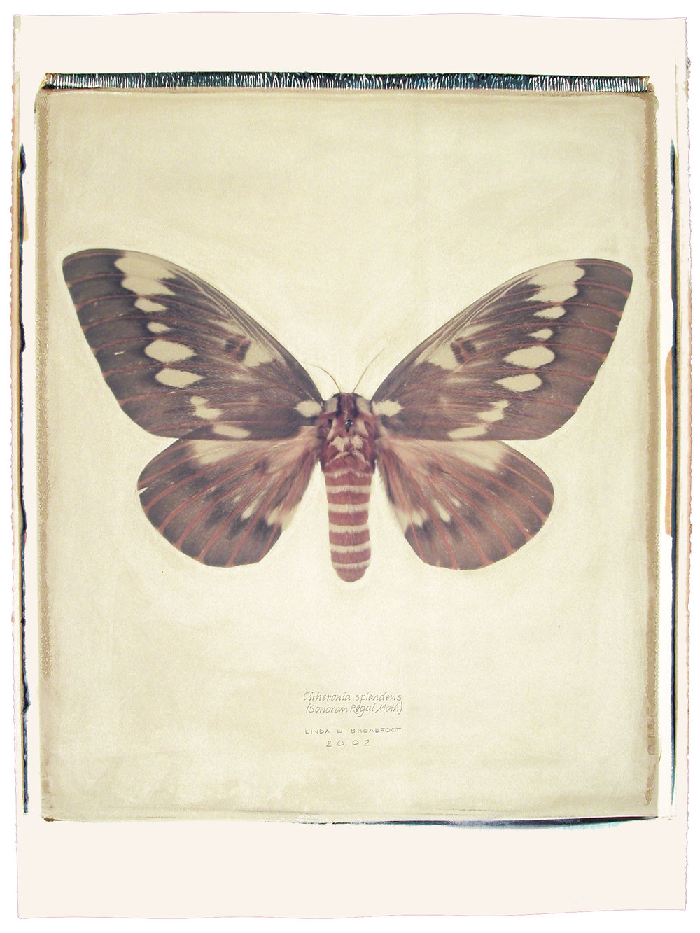 Citheronia splendens  (Sonoran Regal Moth), 2002