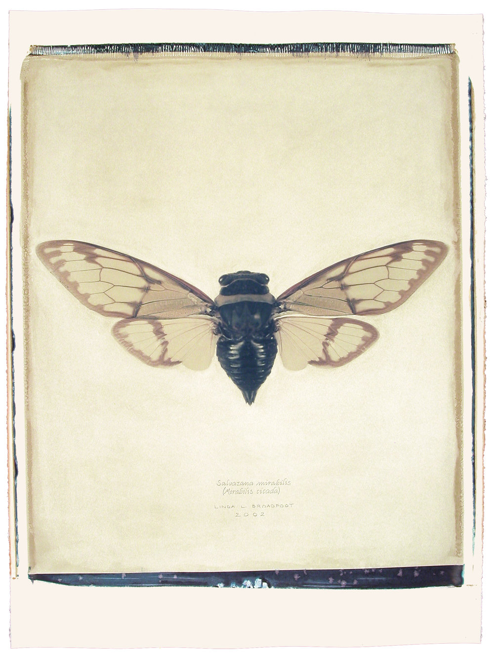 Salvazana mirabilis  (Mirabilis Cicada), 2002
