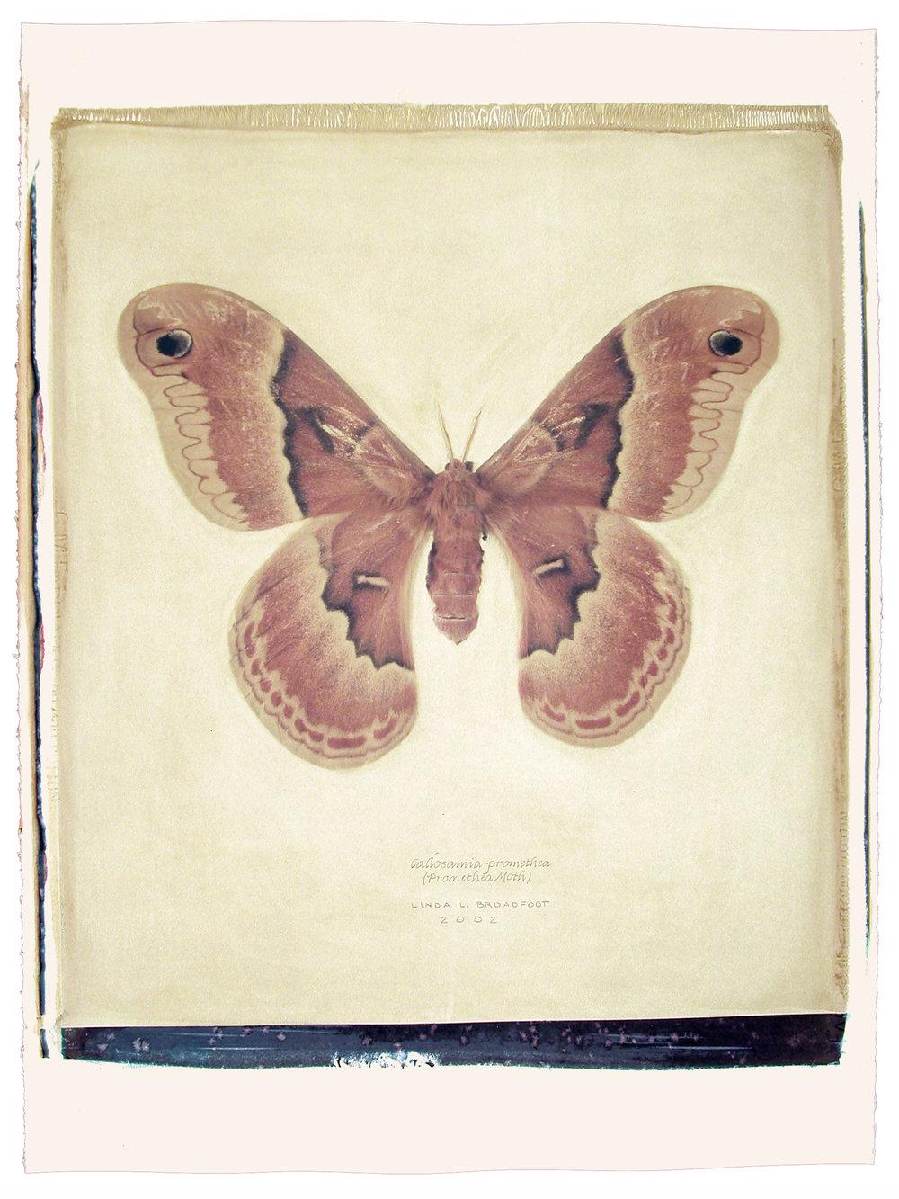 Callosamia promethea  (Promethea Moth), 2002