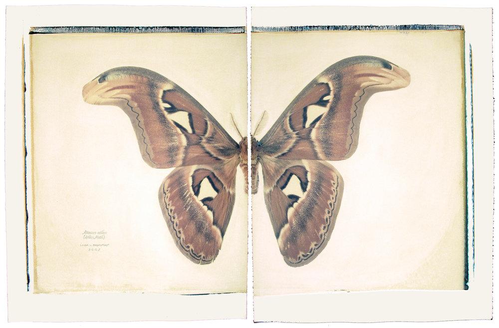 Attacus atlas   ( Atlas Moth), 2002