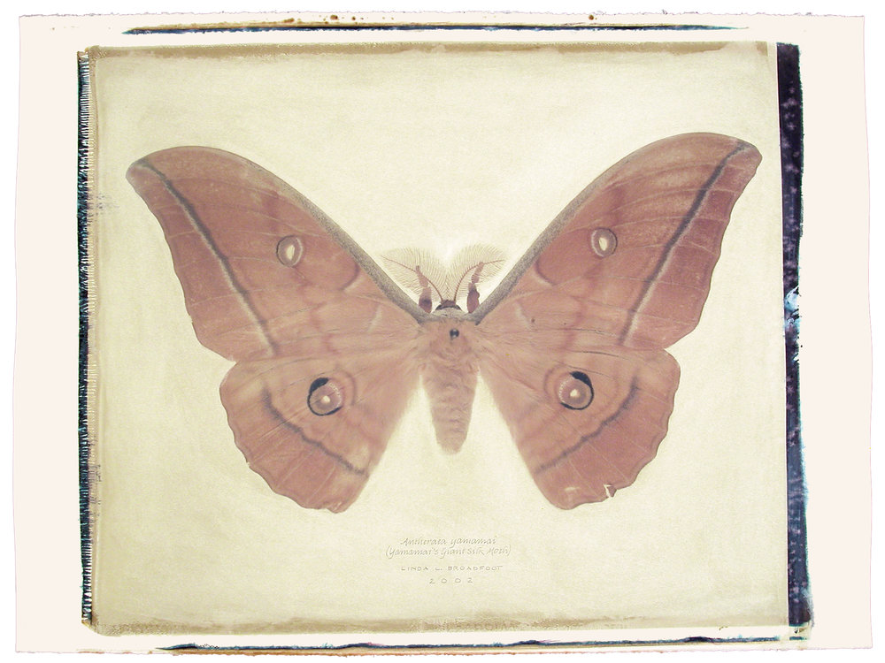 Antheraea yamamai  (Yamamai's Giant Silk Moth), 2002