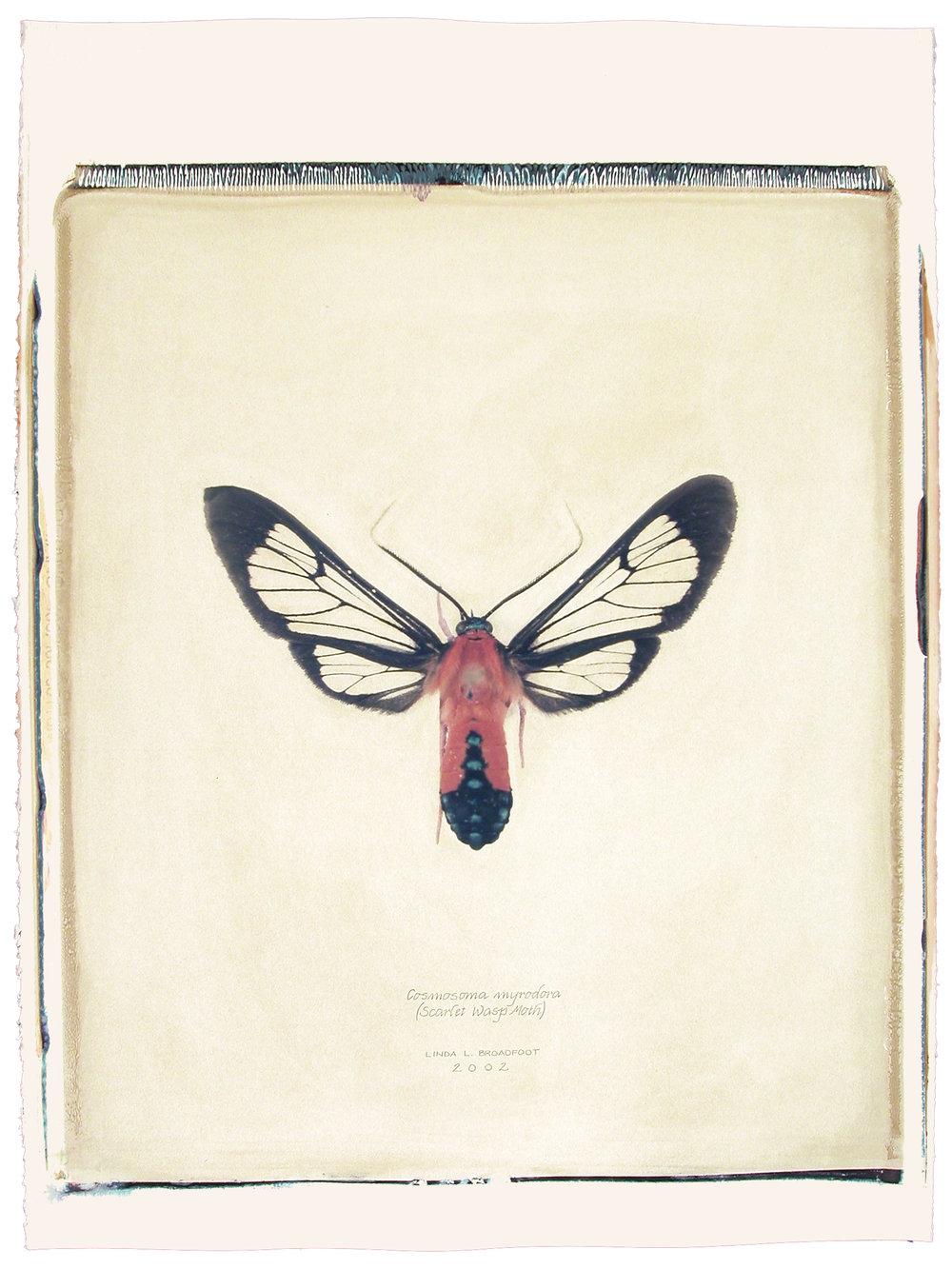 Cosmosoma myrodora  (Scarlet Wasp Moth), 2002