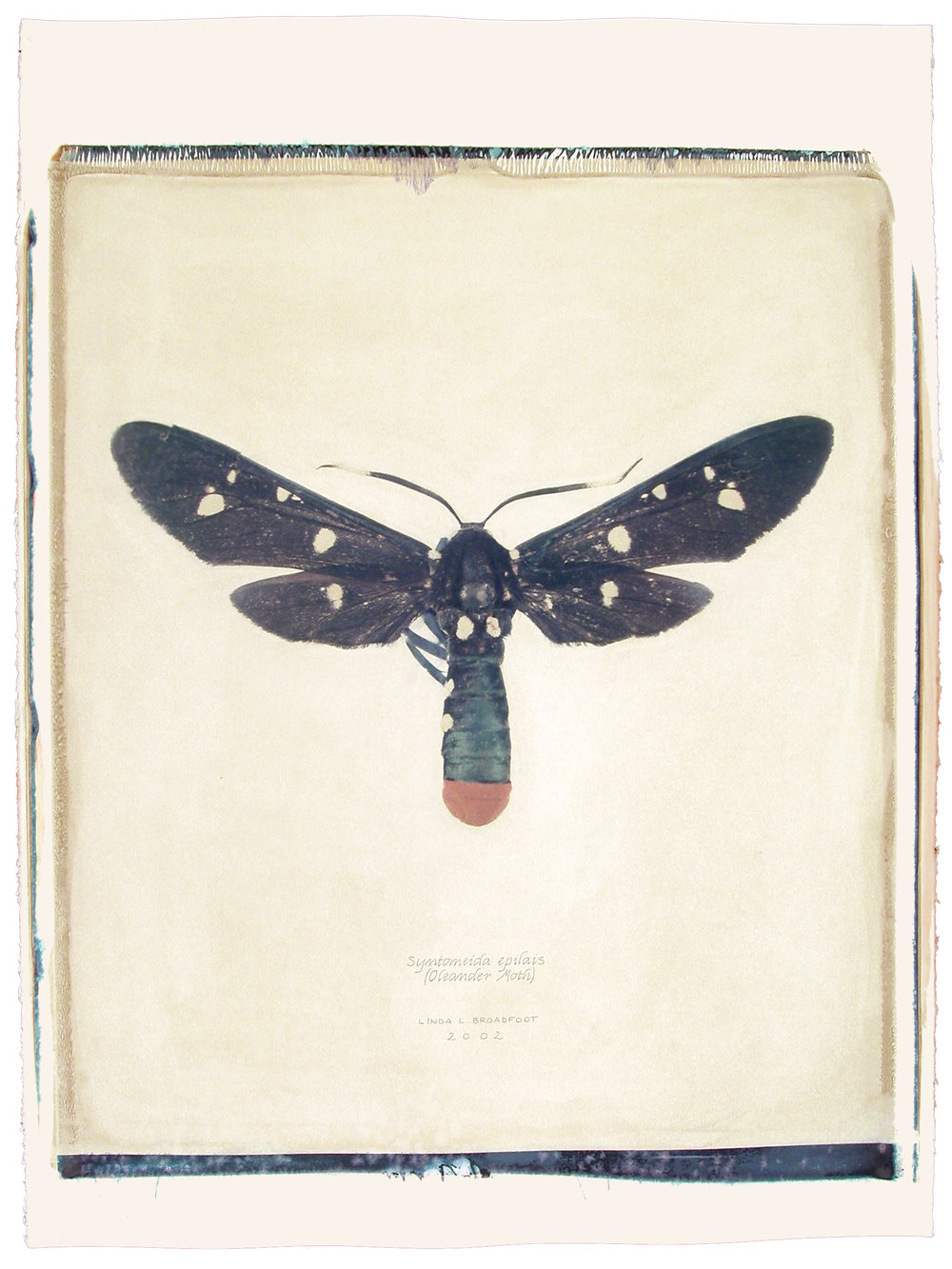 Syntomeida epilais  (Oleander Moth), 2002