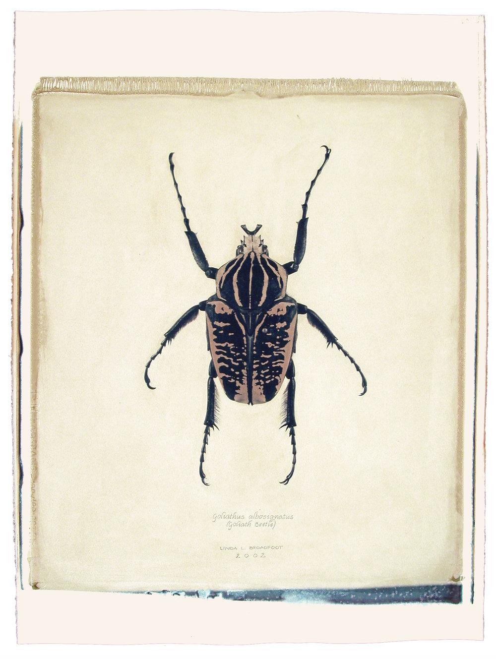 Goliathus albosignatus  (Goliath Beetle), 2002