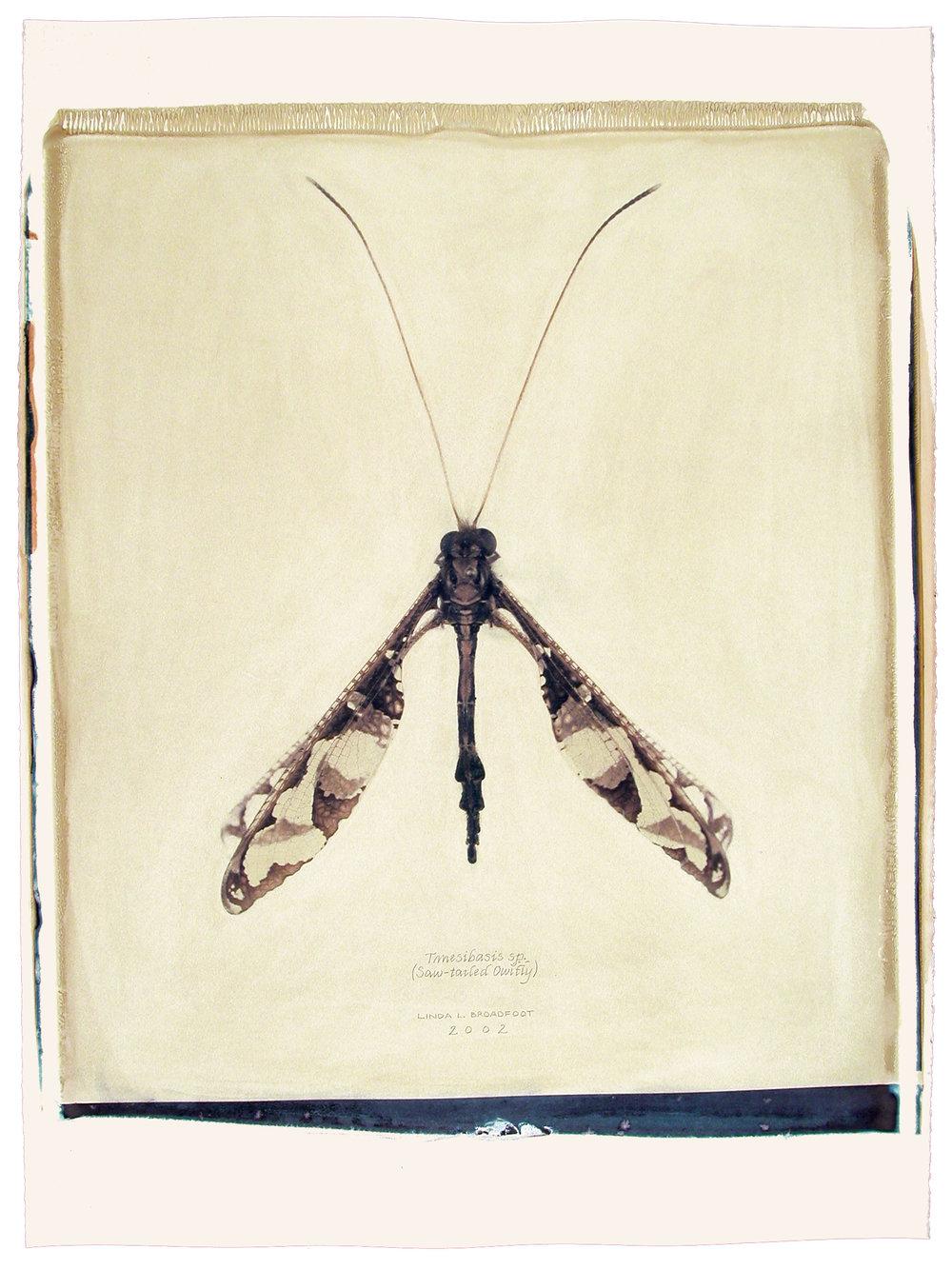 Tmesibasis sp.  (Saw-tailed Owlfly), 2002