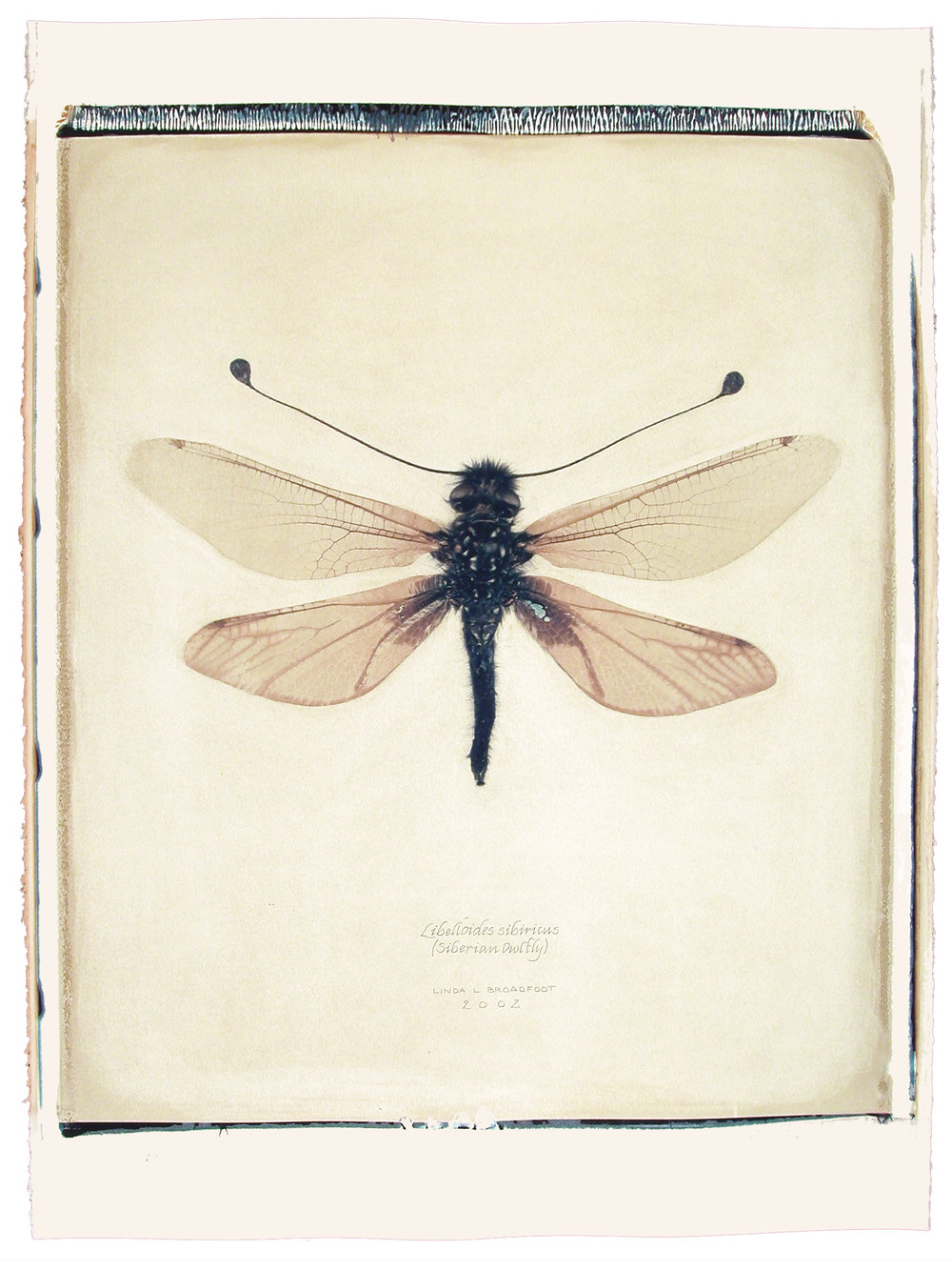 Libelloides sibericus  (Siberian Owlfly), 2002