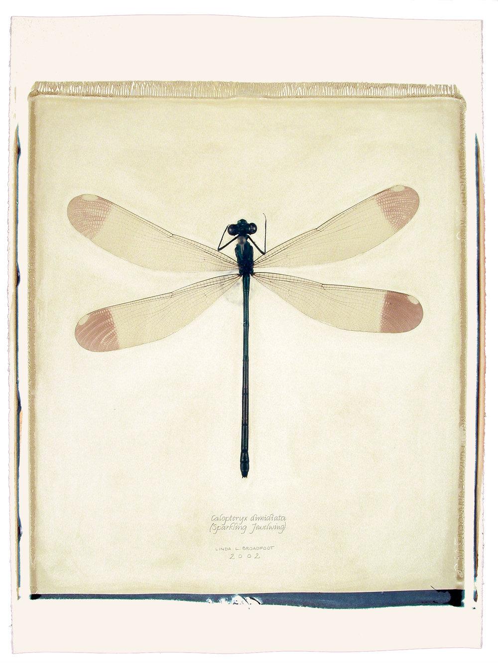 Calopteryx dimidiata  (Sparkling Jewelwing), 2002