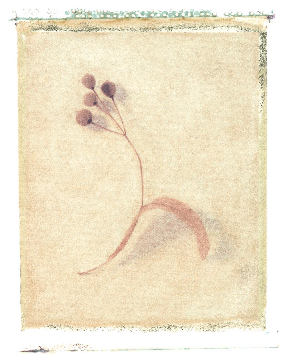 Tilia platyphyllos , 1997