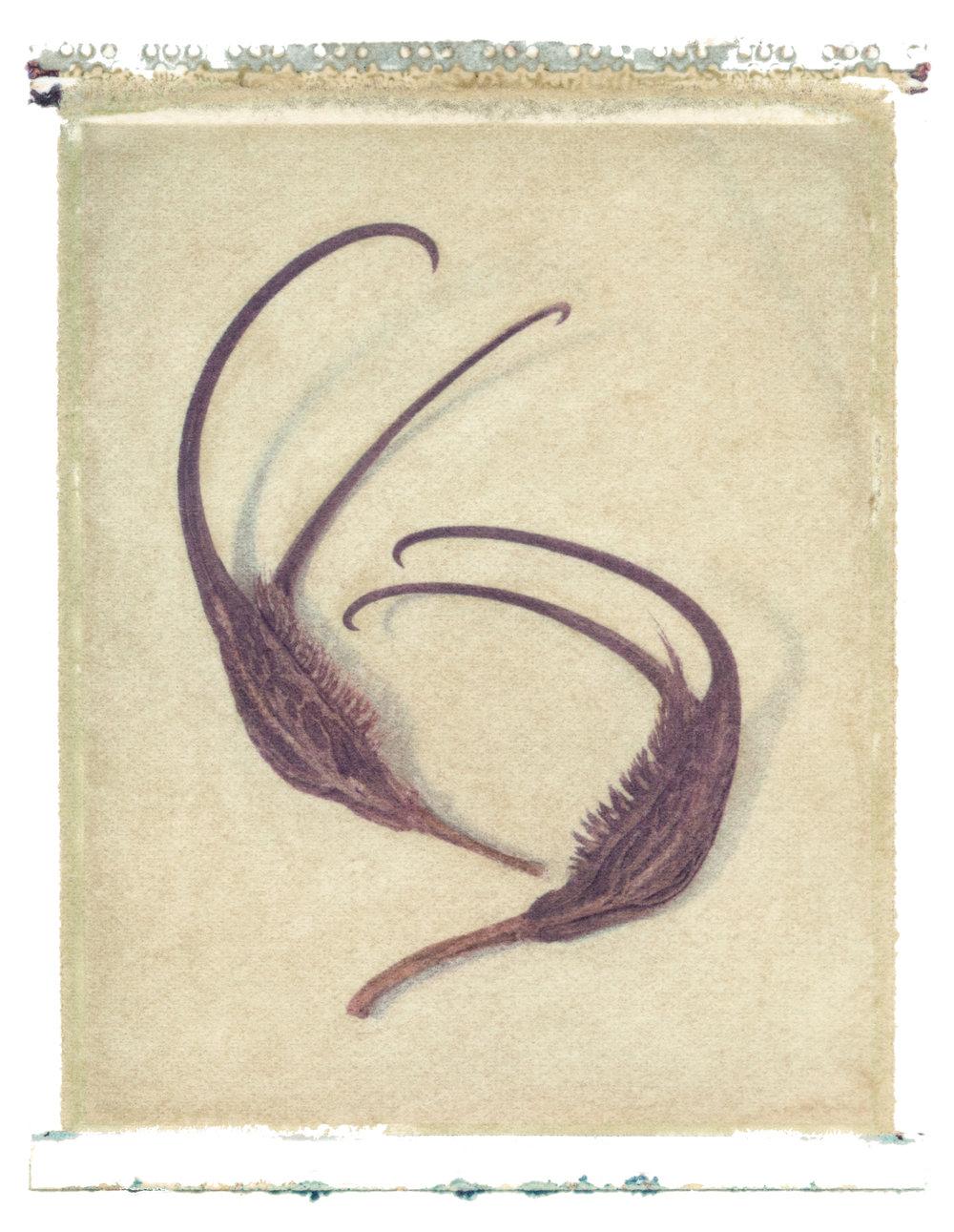 Proboscidea louisianica , 1997