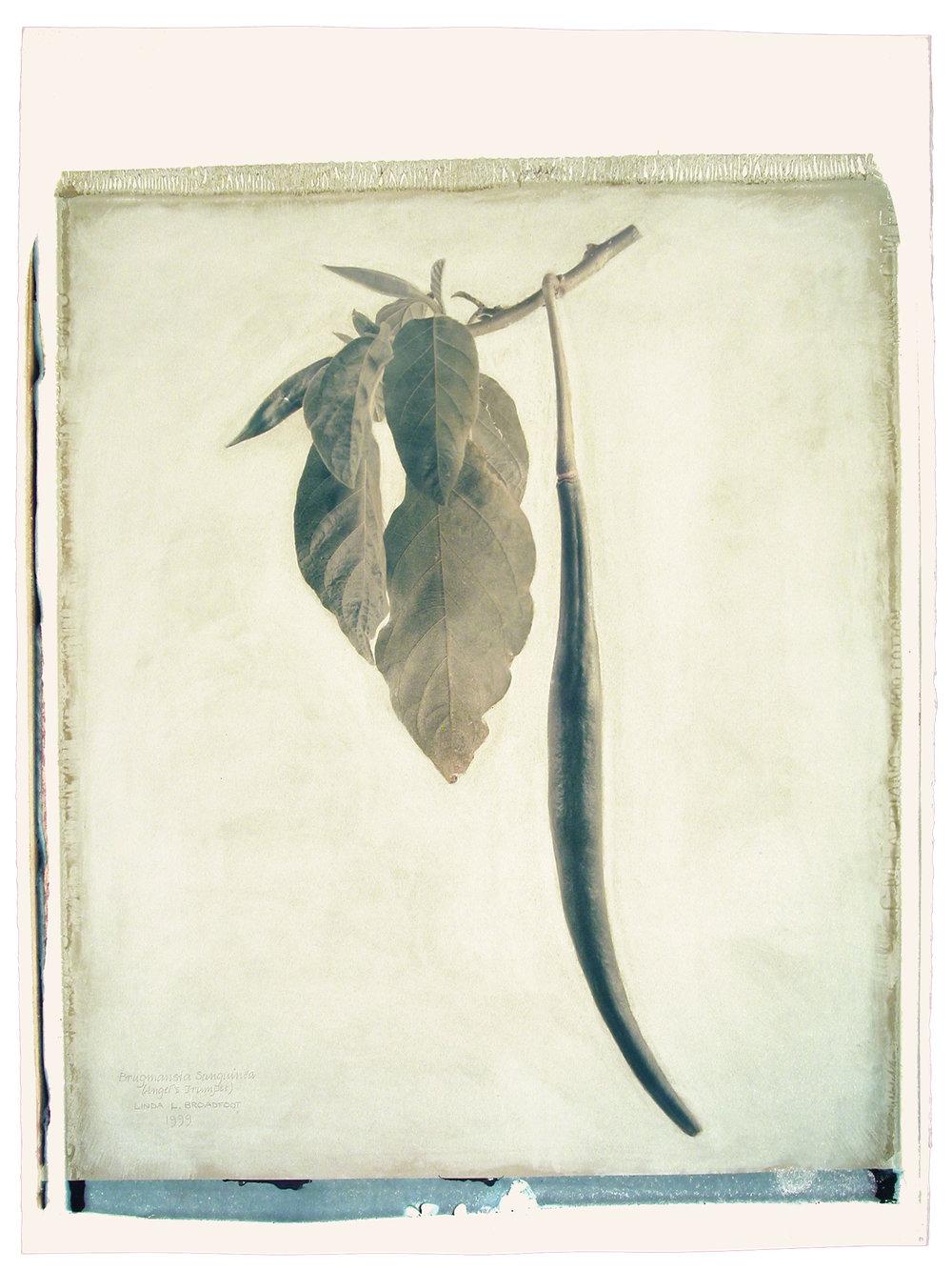 Brugmansia sanguinea  (Angel's Trumpet), 1999