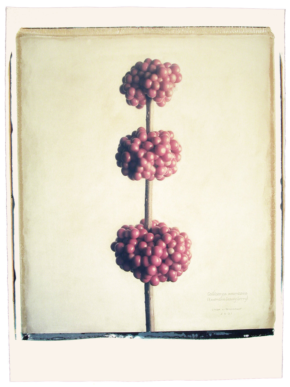 Callicarpa americana  (Beauty Berry), 2001