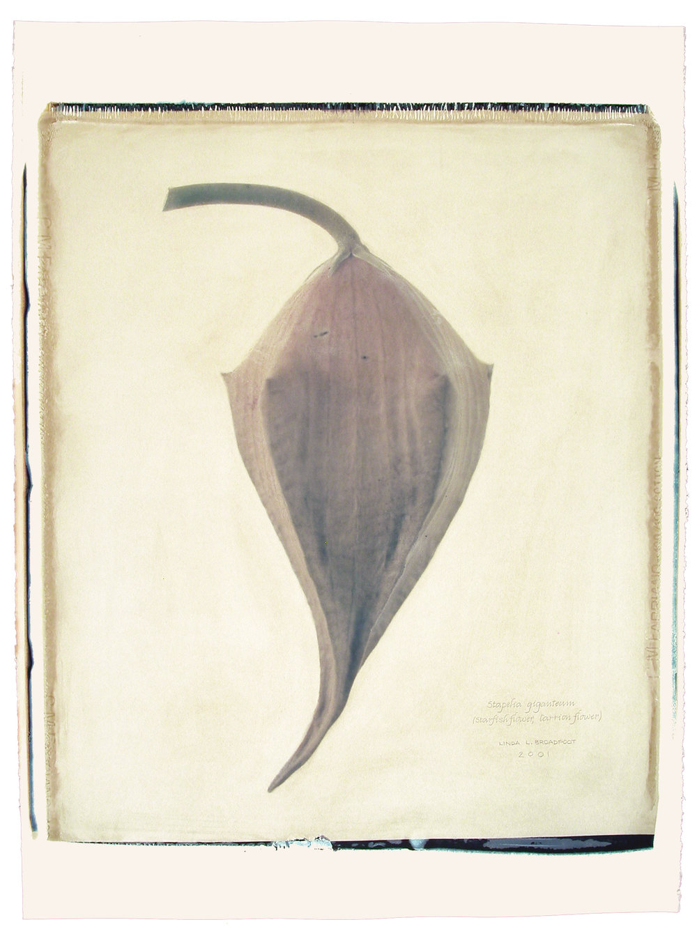 Stapelia giganteum  (Starfish Flower, Carrion Flower), 2001