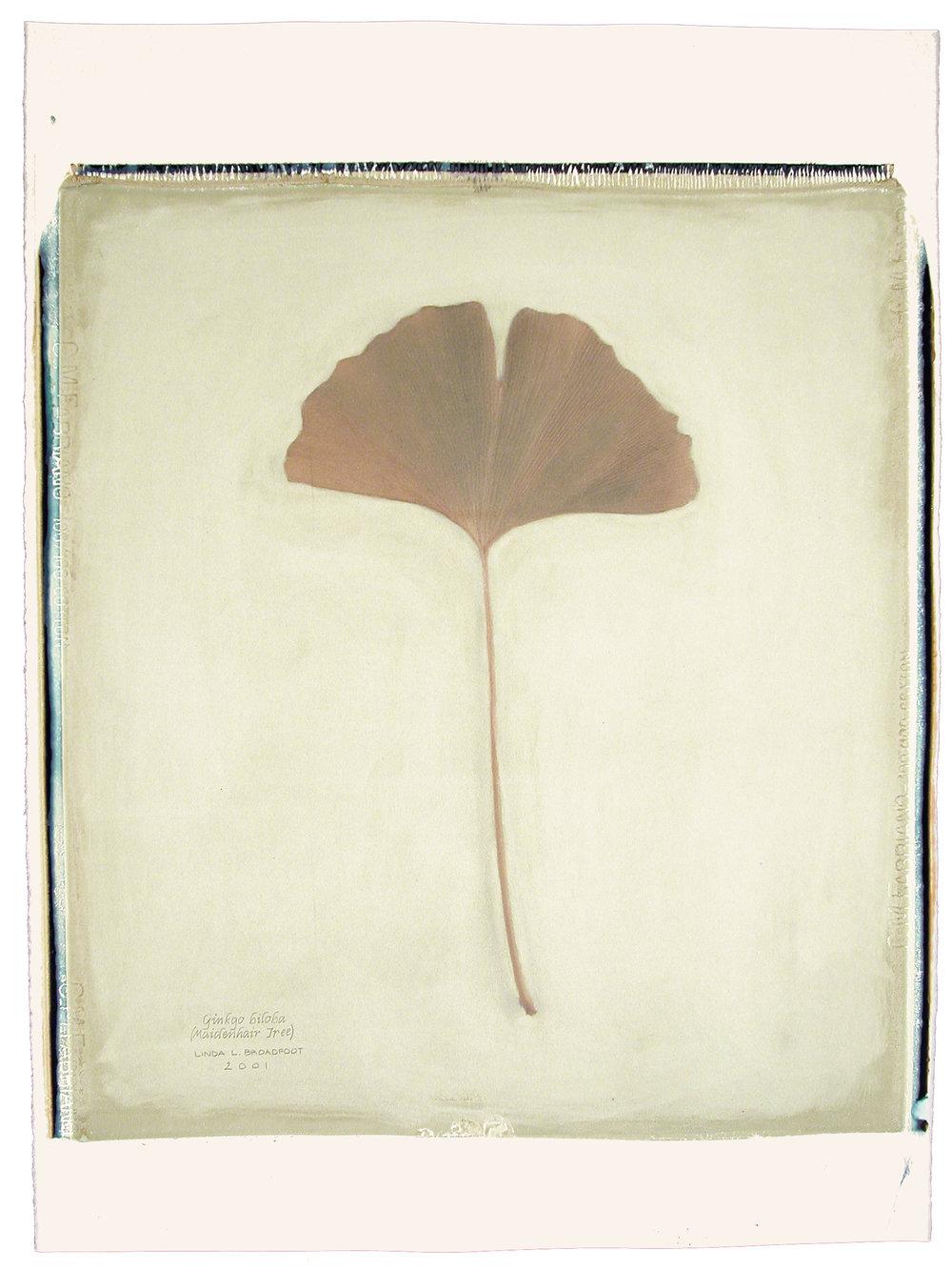 Ginkgo biloba  (Maidenhair Tree), 2001
