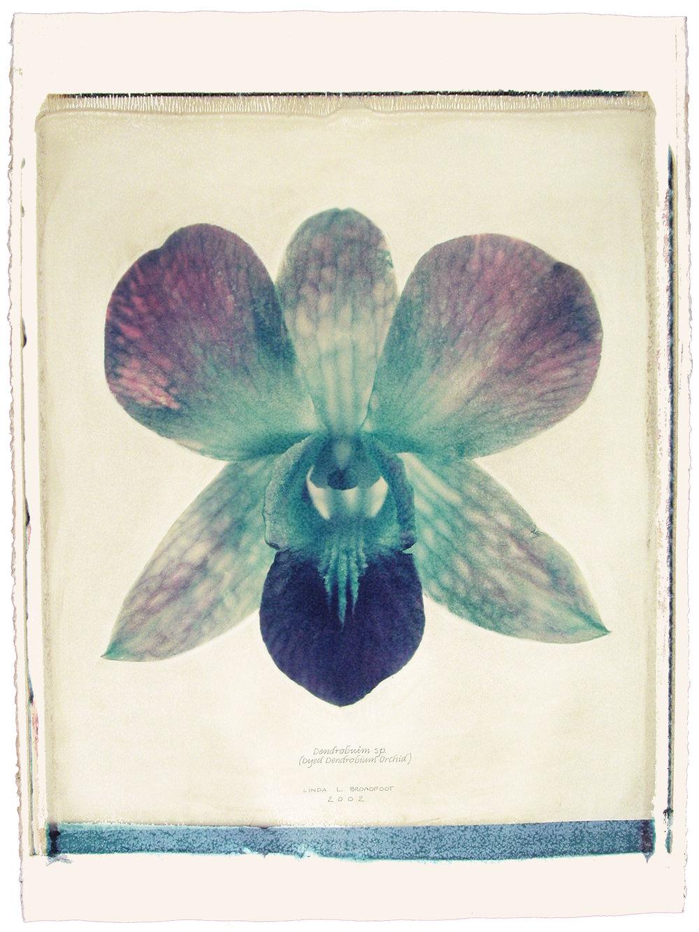 Dendrobium sp.  (Dyed Dendrobium Orchid), 2002