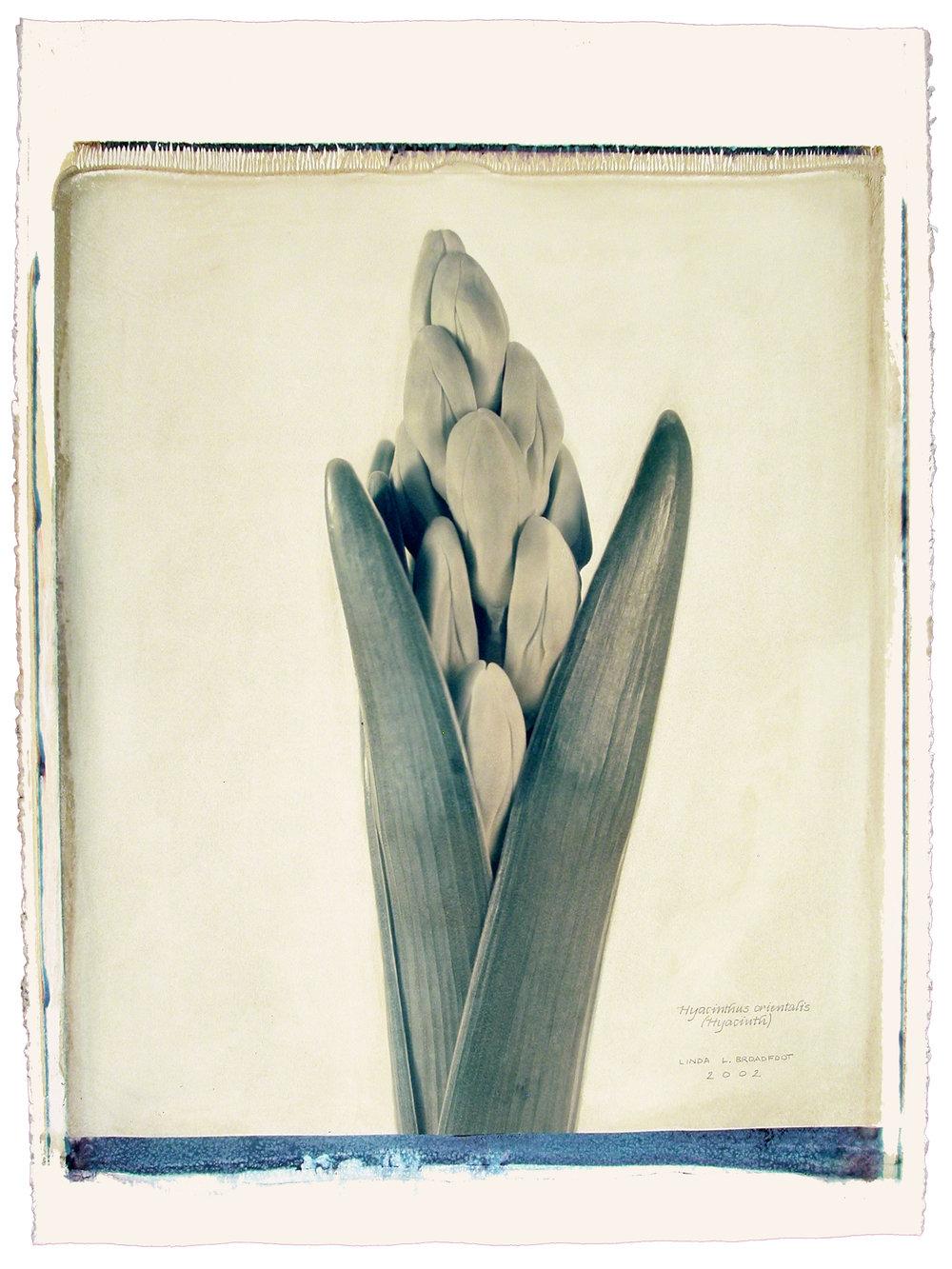Hyacinthus orientalis  (Hyacinth), 2002