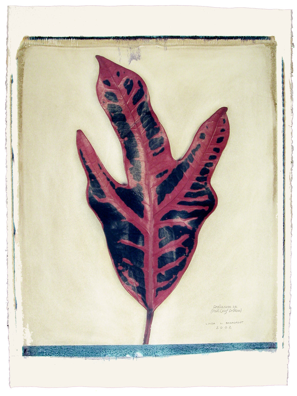 Codiaeum sp.  (Oak Leaf Croton), 2002