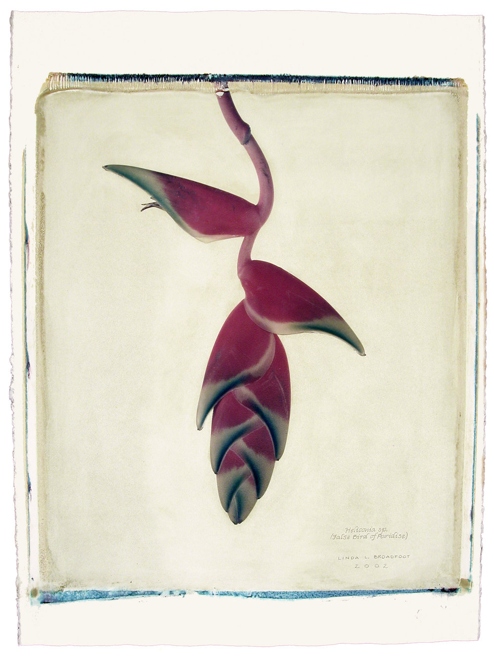 Heliconia sp.  (False Bird of Paradise), 2002