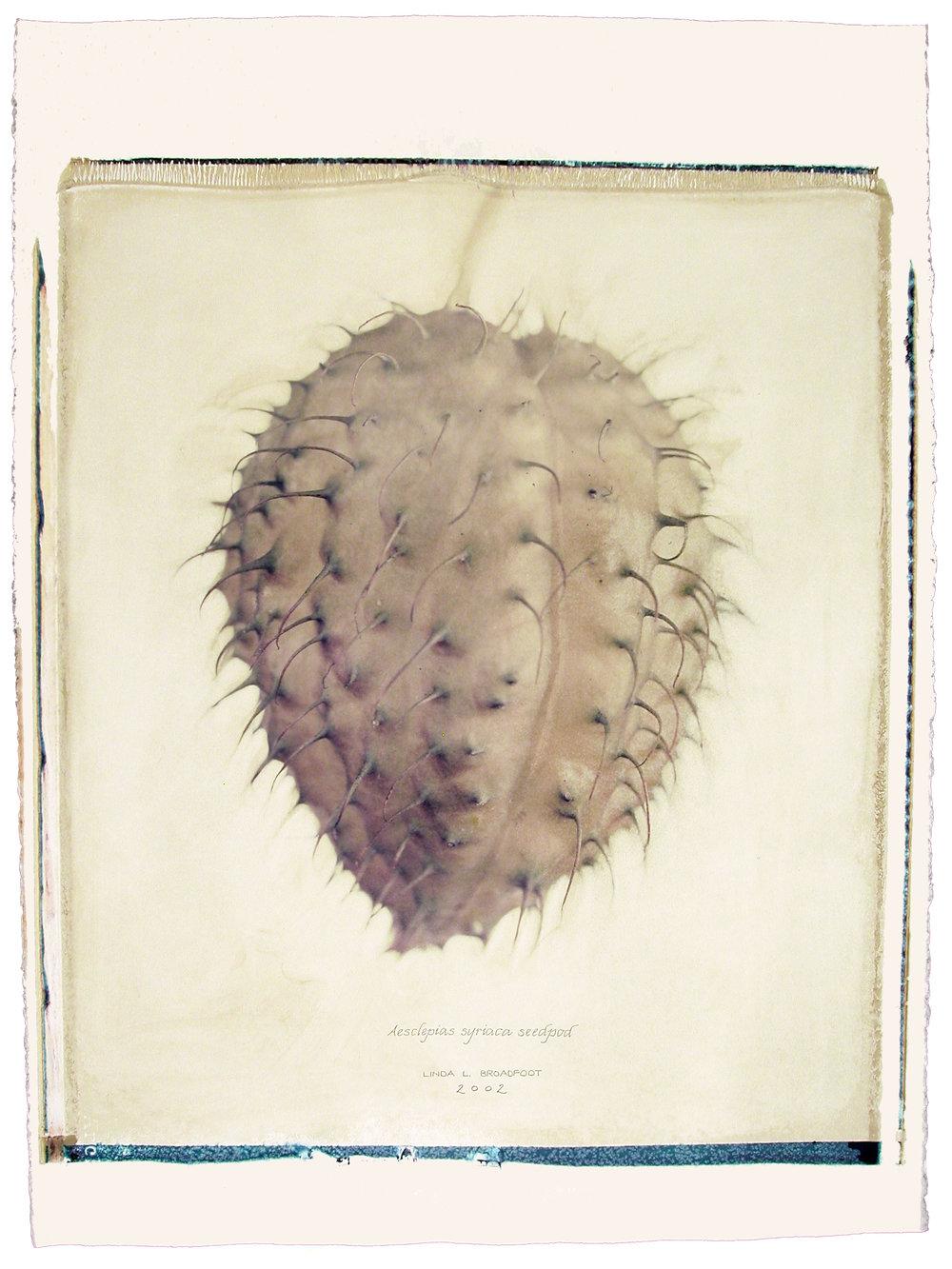 Aesclepias syriaca  (Common Milkweed), 2002