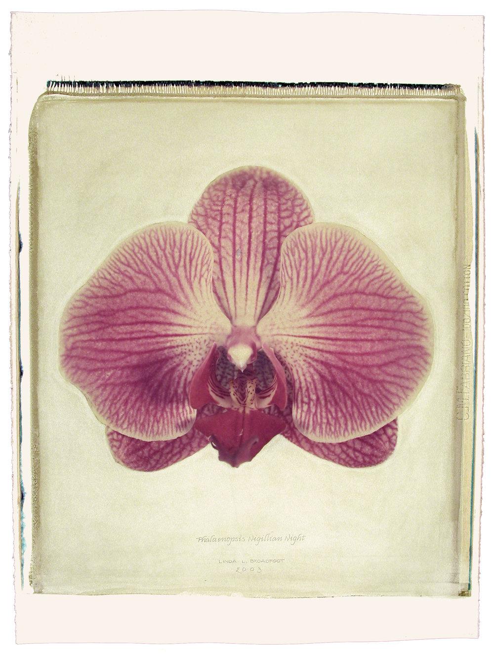 Phalaenopsis  (Nigillian Night), 2003