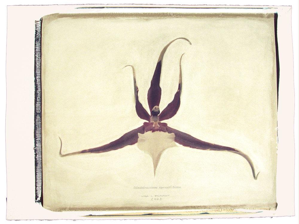 Odontobrassium  (Kenneth Bivin), 2003