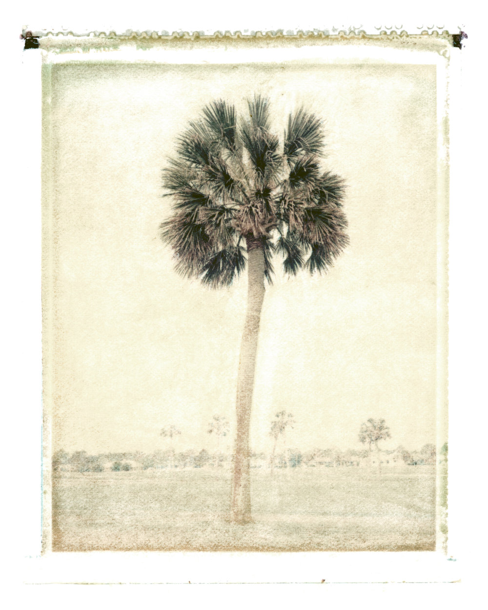 Sabal palmetto  Ponte Vedra Beach, Florida, 1994