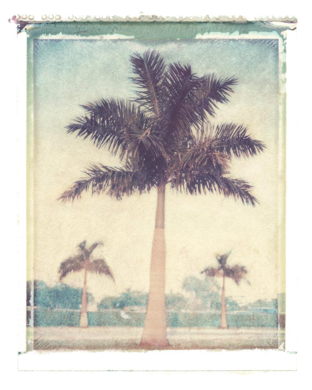 Roystonia regia  Boca Raton, Florida, 1994