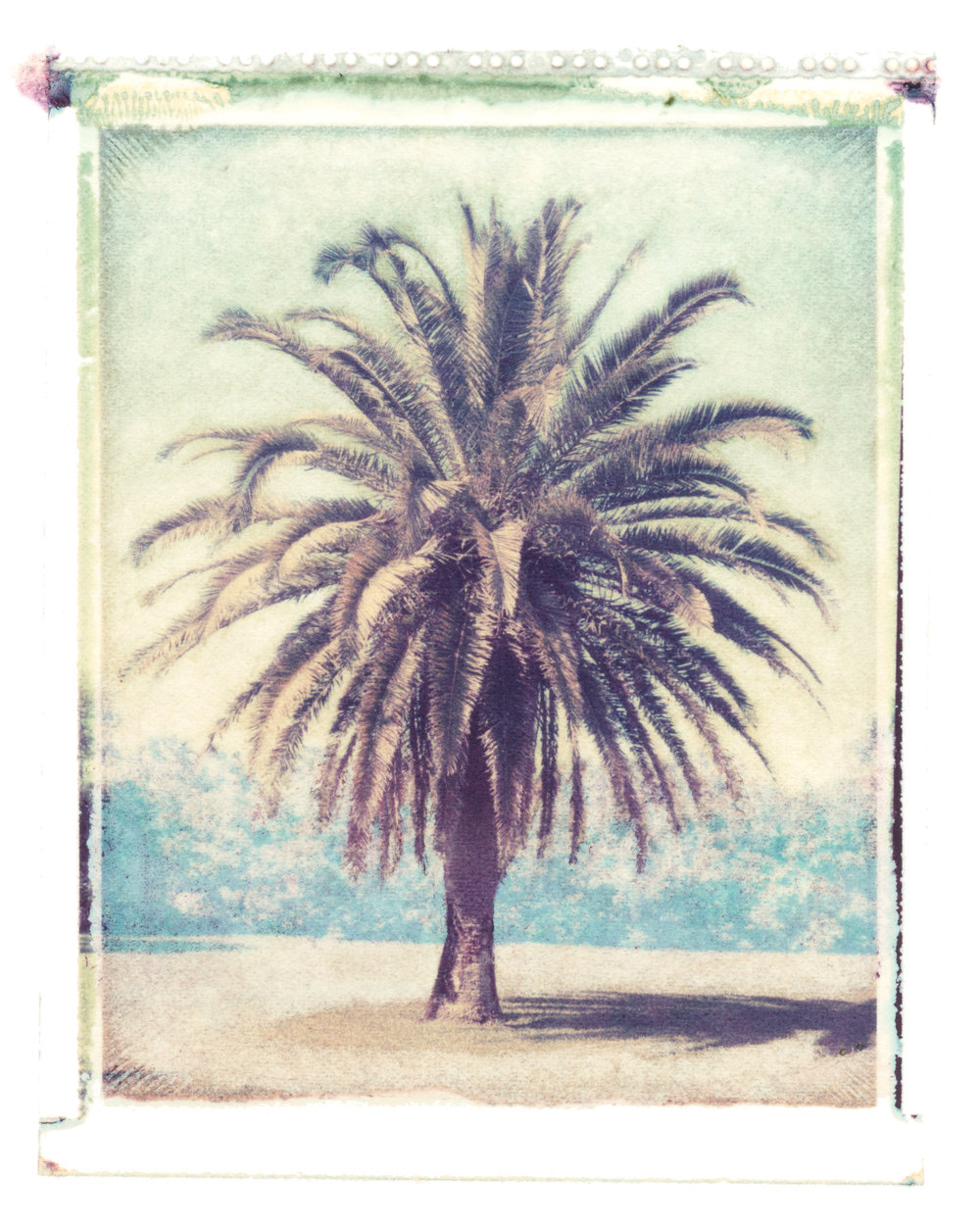 Phoenix canariensis  Atlantic Beach, Florida, 1995