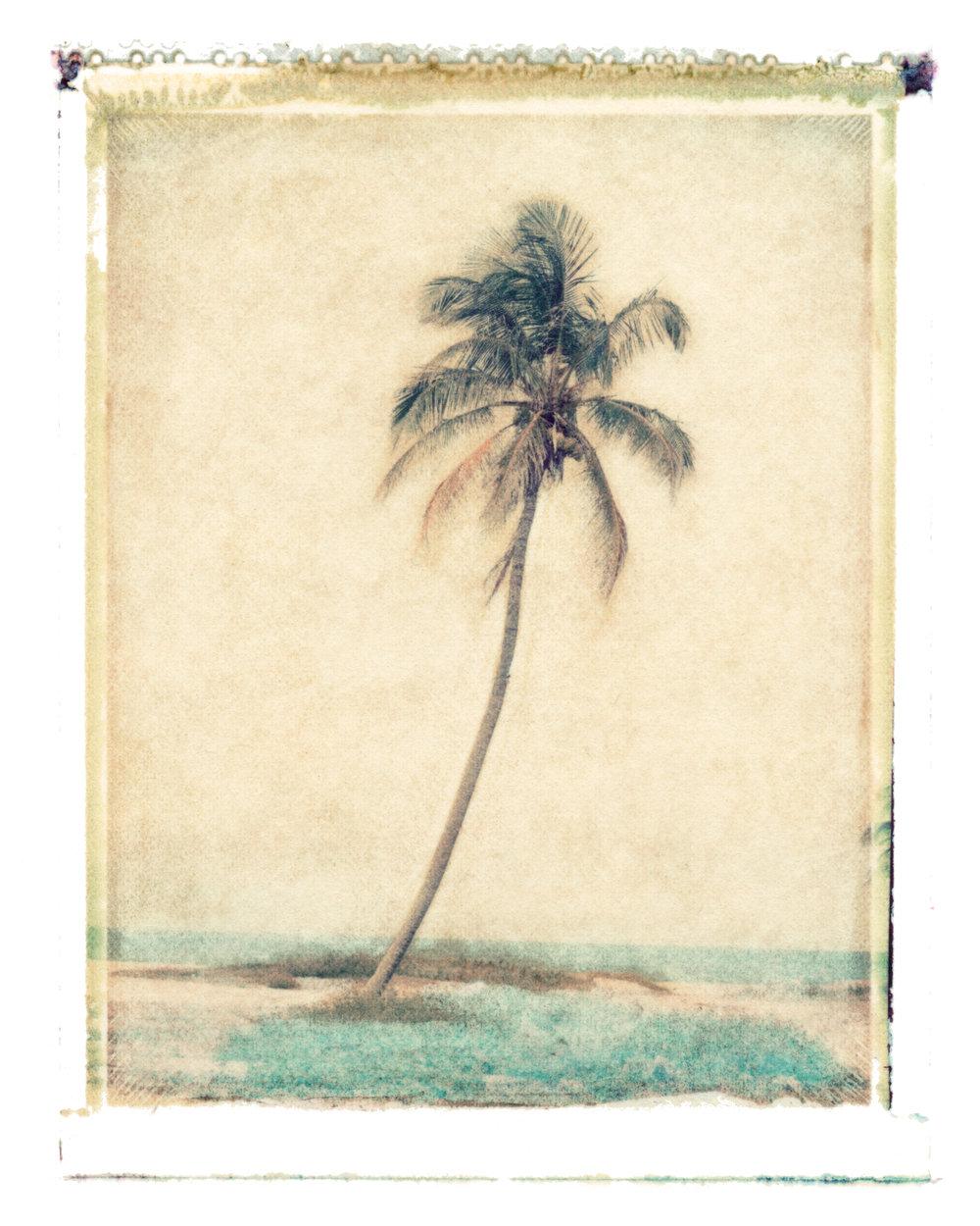 Cocos nucifera  Pompano Beach, Florida, 1995