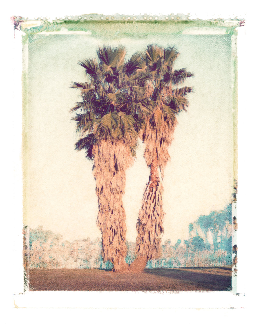 Washingtonia robusta  Clewiston, Florida, 1996