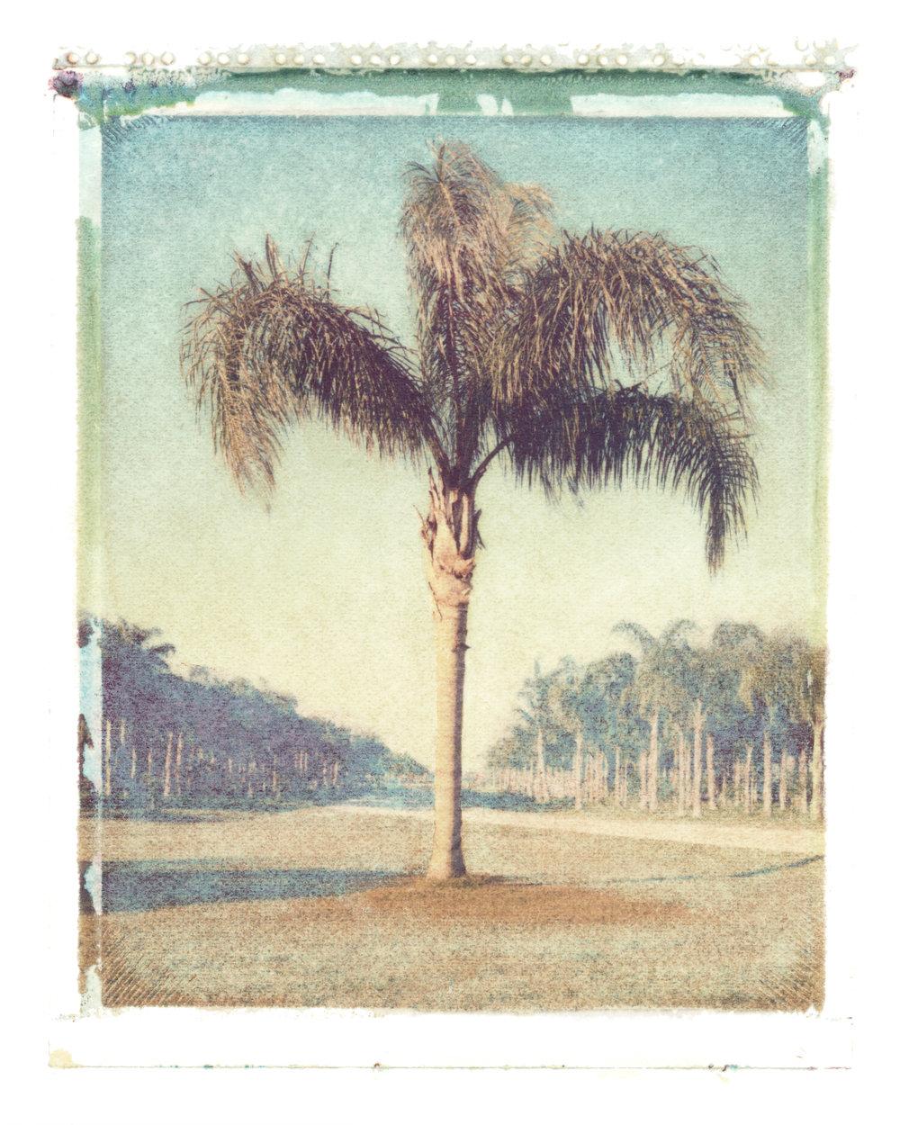 Syagrus romanzoffiana  Loxahatchee, Florida, 1996