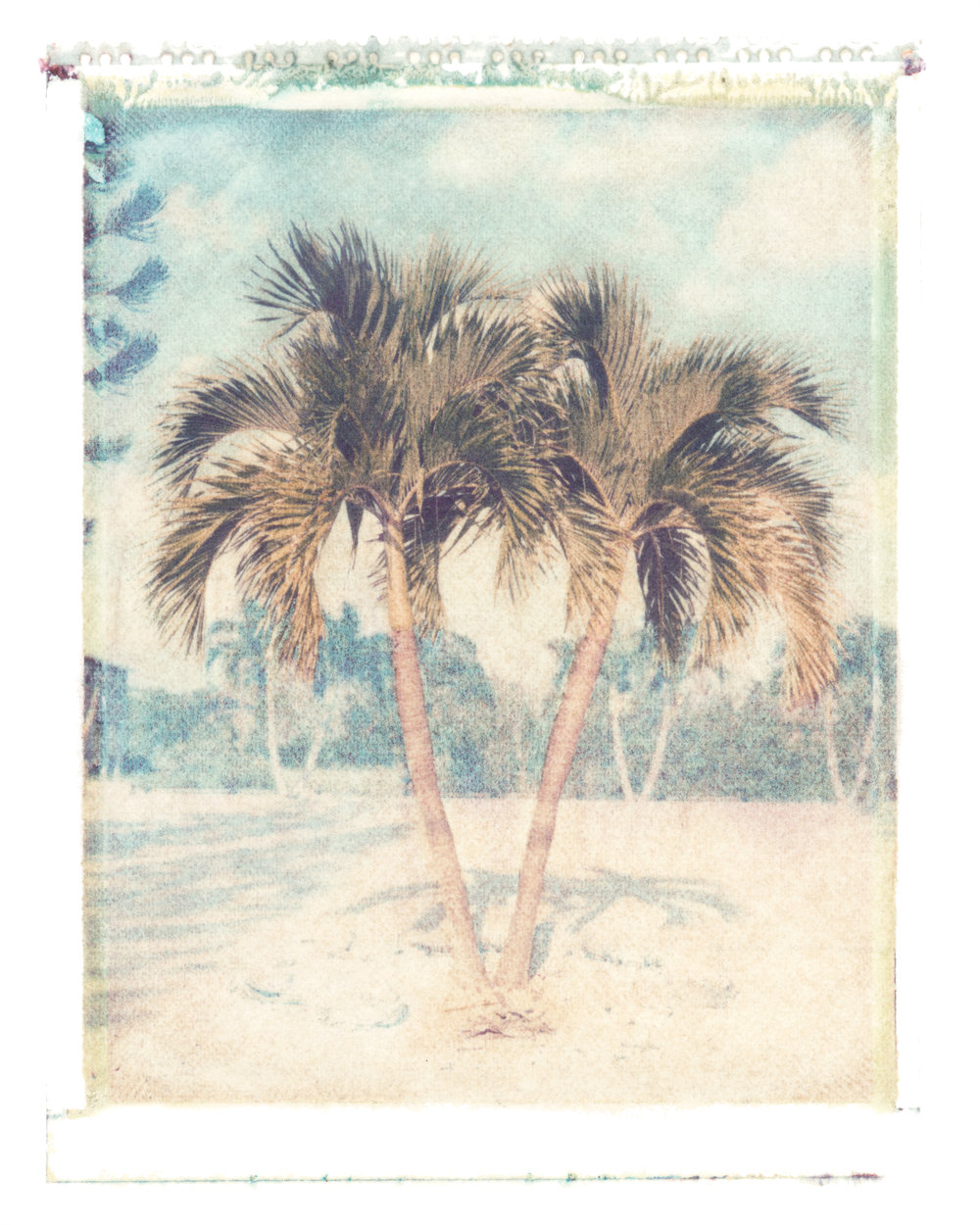 Veitchia Merrillii  Big Pine Key, Florida, 1995