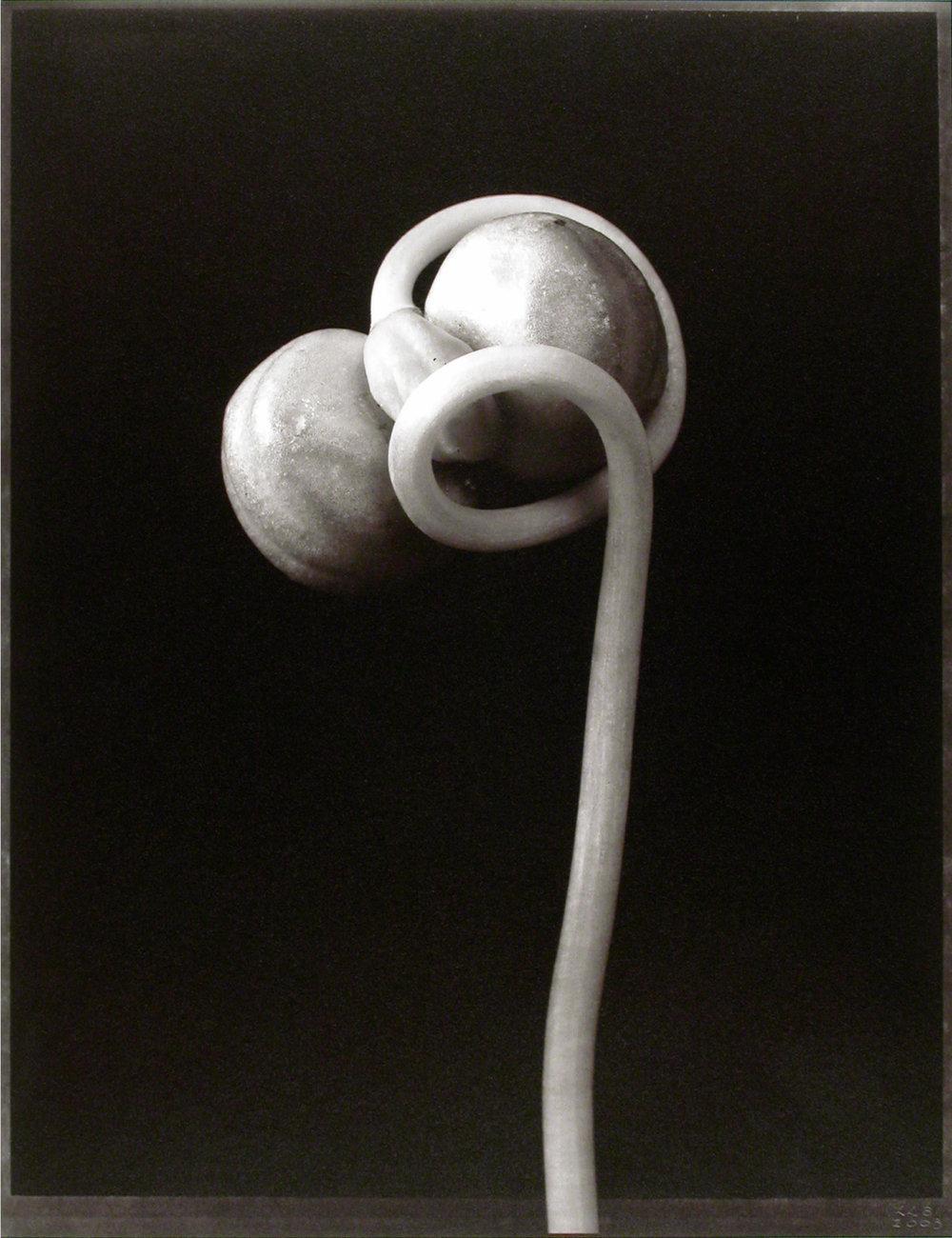 Tropaeolum majus , (Nasturtium seedpod), 2003