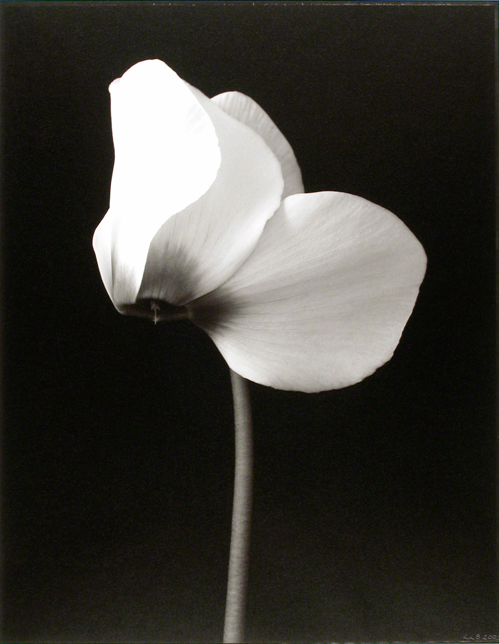 Cyclamen persicum , (Cyclamen bloom), 2003