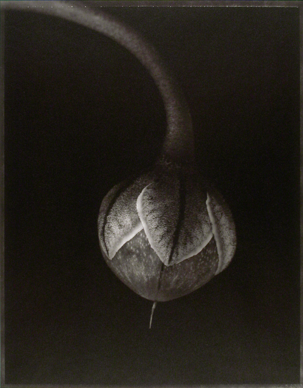 Cyclamen persicum , (Cyclamen seedpod), 2003