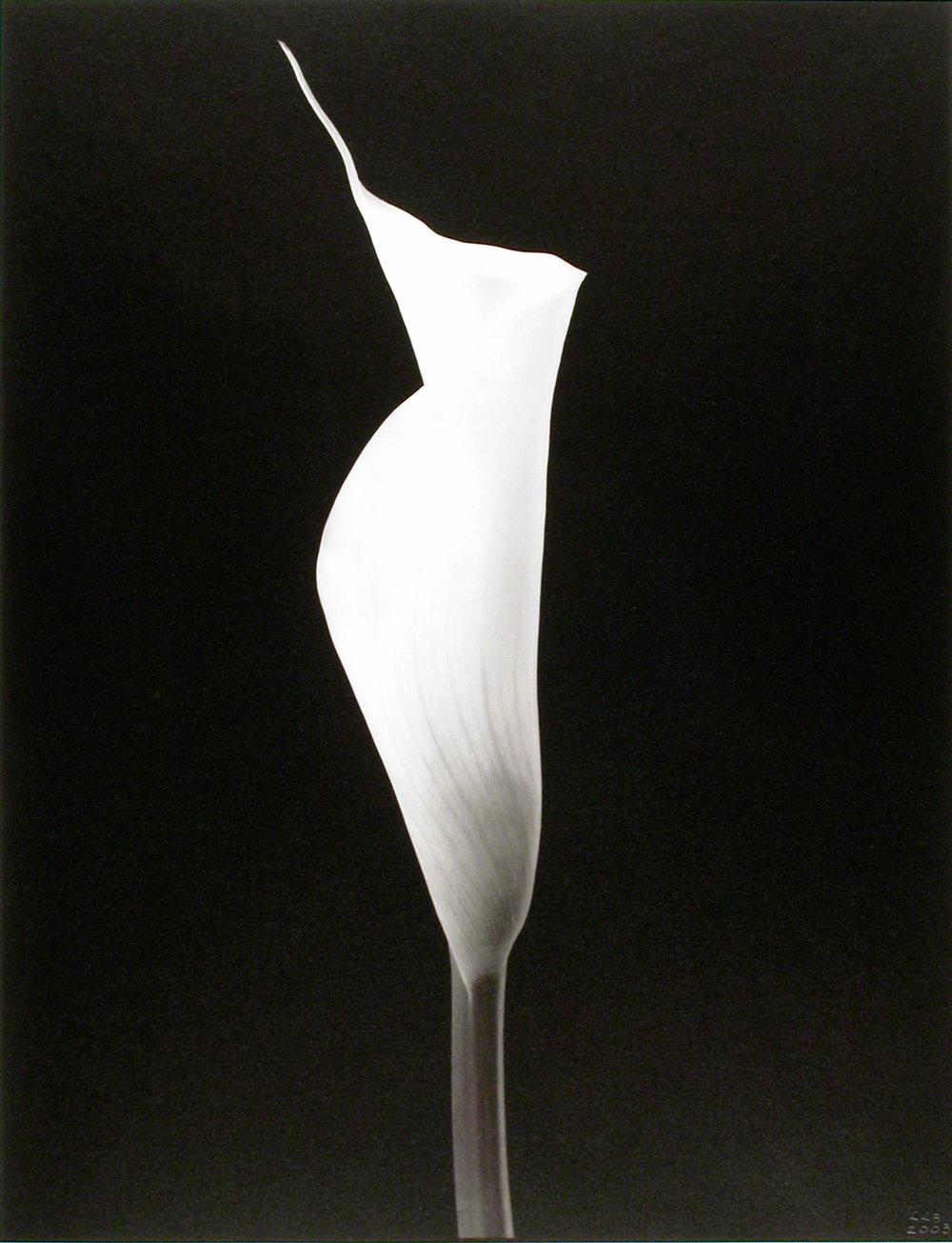 Zantedeschia aethiopica , (Calla Lily bloom), 2003