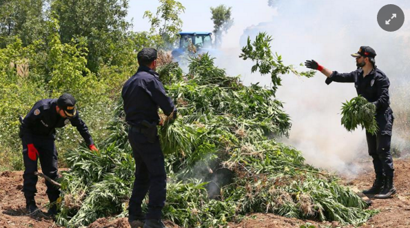 (Turkish Officials burn PKK cannabis plants, Hurriyet Daily)
