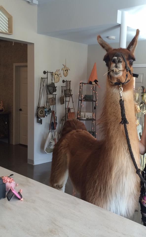 Llama in Store.jpg