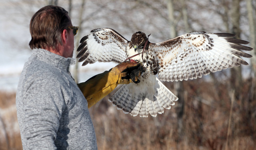 Joby Sabol and OZ, a red-tailed hawk demonstrate their teamwork on Sabol's property off Bridger Road near Bozeman last winter.