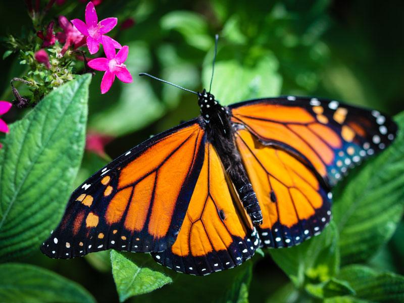 Monarch-AdobeStock_70524105.jpg