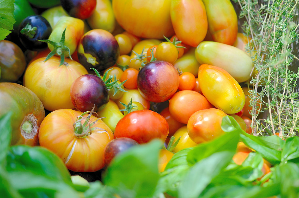 Brightly-colored heirloom organic tomatoes in shades of orange, red, yellow and purple.