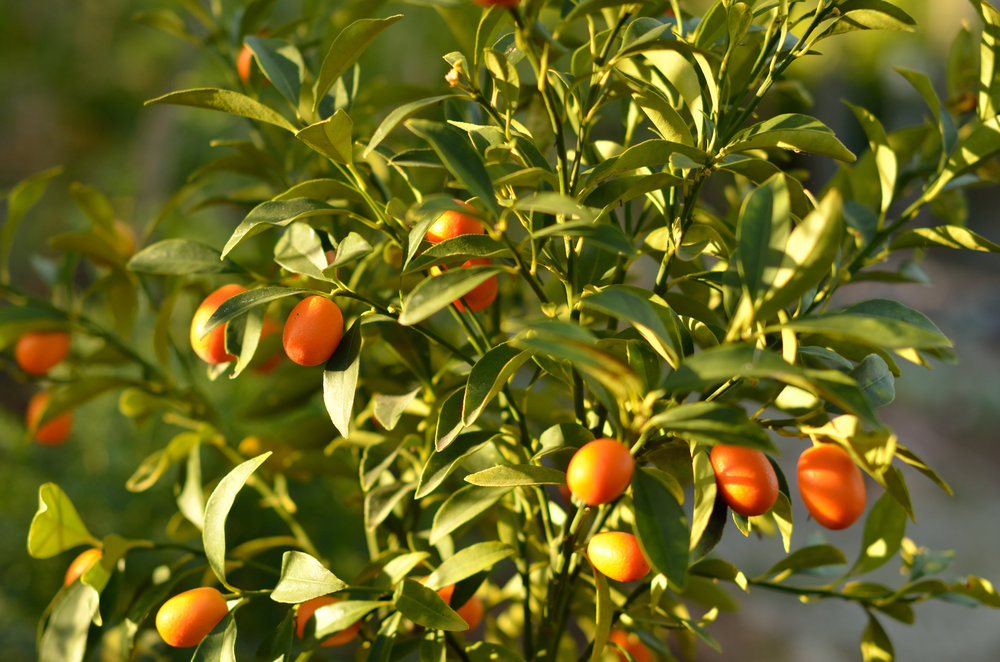 Kumquats growing in the Pasadena sunshine.