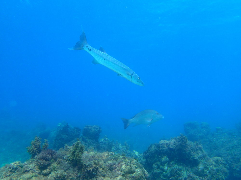 Mature fish at coral nursery array, Oracabessa Bay Fish Sanctuary