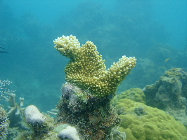 A Elkhorn ( Acropora palmata ) coral out-planted to the reef from nursery culture.