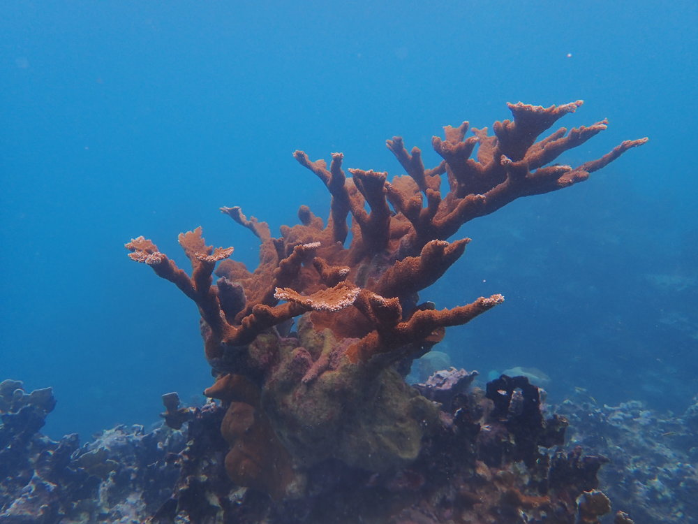 Mature elkhorn coral on the shallow fore-reef protecting resort coastline of Ocho Rios, Jamaica/