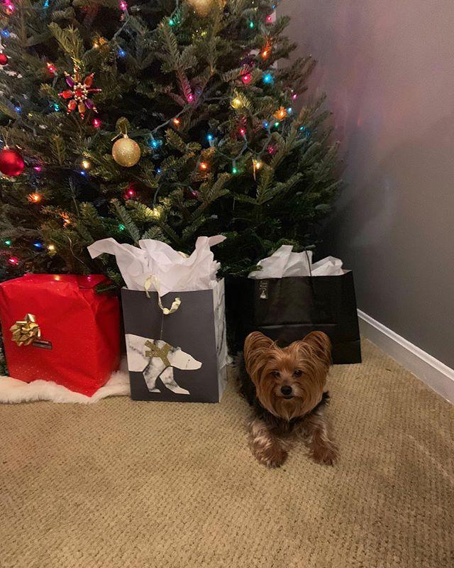 Christmas pup #yorkie #yorkiesofinstagram #instadog #pupper #doggo