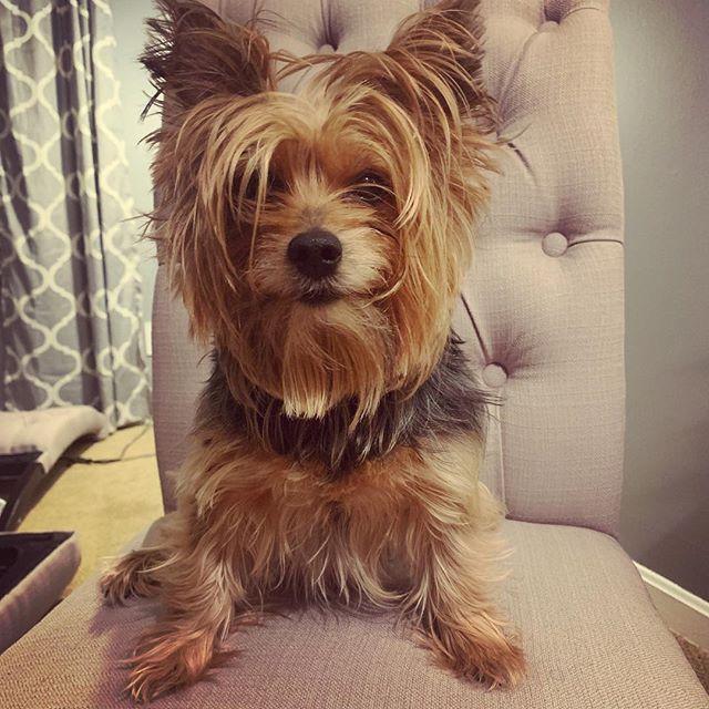 Crazy hair don't care #yorkies #yorkiesofinstagram #doggo #pupper
