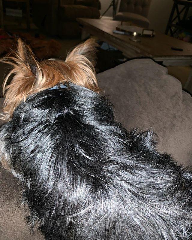 Friday night vibes #yorkiesofinstagram #nofilter #yorkies #doggo #pupper